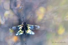 Ascalaphe soufré-Libelloides coccajus (PatNik01) Tags: ascalaphe ascalaphesoufre libelloidescoccajus insecte nikon nature macro proxy var france bokeh wild wildlife