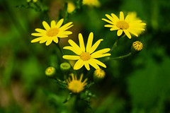 Bright yellow (alexandra_parasca) Tags: yellow flower spring plain steep preerie plant buds flowers colour bright grass green romania