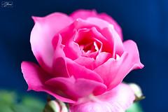 Rose (Sohmi ︎) Tags: macro fleur flower nature jardin garden gloria dei peace france french nikond810 ©sohmi sohmi tamronsp90mm rosaceae rosebushes rosa rose