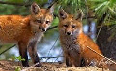 Fox Siblings (daryl nicolet) Tags: foxes fox 2 two heads face cute cuddly wild wildthings nature wildlife outside animals animal canon camera digital image daryl nicolet dnicpix5dm3 sigma lens kit kits kitts pup pups