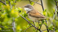 Whitethroat - Sylvia curruca (Liquidparadox) Tags: bird tree otmoor rspb oxfordshire canon 500mm whitethroat sylviacurruca green brown white spring