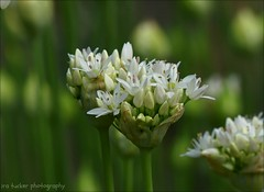 Human beings are perhaps never more frightening than.... (itucker, thanks for 5+ million views!) Tags: allium macro bokeh green hggt whiteflag raulstonarboretum