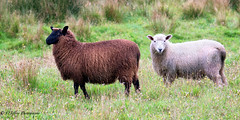 New Zealand Wildlife (OJeffrey Photography) Tags: sheep wildlife southisland newzealand panorama pano nikon d500 ojeffreyphotography ojeffrey jeffowens chocolate
