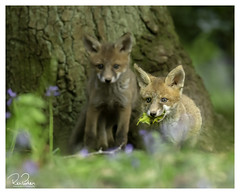 this ones fighting back (richgparkes) Tags: fox cubs playing bluebells wood spring nature animal