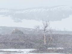 May snow II (Fjällkantsbon) Tags: doroteakommun sverige klöverdalenmedomgivningar lappland borgafjäll vårvinter evamårtensson västerbottenslän springwinter lapland snowstorm platser årstider