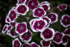 Walk Around Neighborhood (Steve Holsonback) Tags: montgomery county gaithersburg maryland sony a77ii flowers topaz labs