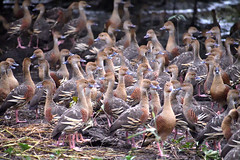 Plumed Whistling-Ducks (philk_56) Tags: australia northern territory kakadu national park yellow water wetlands plumed whistling ducks