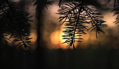 Raindrop Spruce limb, Sunset. (Steve InMichigan) Tags: bluespruce spruce treelimb tree sunsetglow raindroplets raindrop eveningglow bokeh индустарindustar50250mmf35lens fotasym42eosmlensadapter