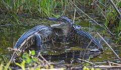 Gator Buddies (ap0013) Tags: wildlife nature animal florida wild myakka statepark myakkariver fl sarasota sarasotaflorida alligator americanalligator gator gators alligators