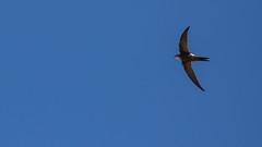 Pacific Swift (Apus pacificus (pacificus)) (sam_hierofalco) Tags: aves apidae apus pacificus