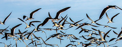 Black Skimmers Inflight (dbadair) Tags: outdoor sky nature wildlife 7dm2 7d ii ef100400mm ocean canon florida bird