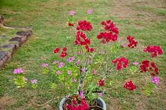 Nuku Hiva flowers (jjknitis) Tags: 2019 bougainvillea cruise eurodam flowers hollandamerica island march30 marquesas nukuhiva polynesia southpacific