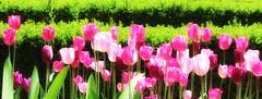 Pink Horizon (Robert Cowlishaw (Mertonian)) Tags: lunchstroll flowers hopingforpurple spring2019 beauty beautiful parasophia canonpowershotsx70hs sx70hs powershot canon robertcowlishaw mertonian wonder awe ineffable
