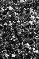 (eelend) Tags: black white berlin tree flowers spring garden sunlight shadows contrast