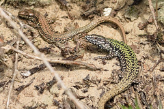 Wall Lizard (Podarcis muralis) (Sky and Yak) Tags: reptile lizard herpetology herp uk uklizards naturalworld nature basking bask reptilesandamphibians england wall walllizard podarcis muralis podarcismuralis pair