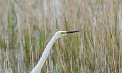 Going green at Marquenterre (robmcrorie) Tags: parc park marquenterre bout crocs france north nord baie somme bay wildlife nature reserve birding nikon d850 egret aigrette green facial skin breeding colour