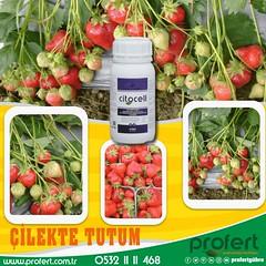 profert çilek (Profert Gübre) Tags: fertilizer profert damlama yandal tutum sebze seracılık sebzecilik sera sulama meyvecilik meyve mayıs