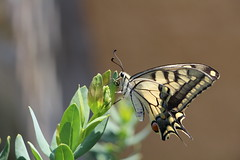Papilio machaon (Nora077) Tags: