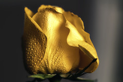 Precious (<Phantasmagoria>) Tags: macro yellow rose waterdrops extensiontubes petals colours lighting copyrightvanessabartosek
