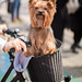 Cute Yorkshire Terrier sitting in a bicycle basket