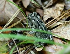 Gray Treefrog (emmaellathomas) Tags: yorkriverstatepark jamescitycountyva williamsburg va treefrog frog