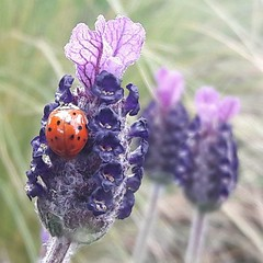 The Lavender and the Ladybird.... (markwilkins64) Tags: lavender ladybird ladybug markwilkins nature plants insects purple bokeh