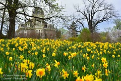 At one with the daffodils (lauren3838 photography) Tags: laurensphotography lauren3838photography landscape flower daffodils wideangle nikon d750 maryland marylandphotographer mdinfocus md cylburn park city baltimorecity baltimore mansion nature ilovenature urban tourism