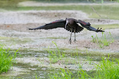 _5ND8042_LR_LOGO (Ray 'Wolverine' Li) Tags: hongkong bird birding watch asia nature wildlife plegadisfalcinellus threskiornithidae pelecaniformes plegadis brauner sichler ibis