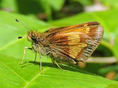 Hobomok Skipper - Poanes hobomok (annette.allor) Tags: butterfly wildlife skipper grass nature
