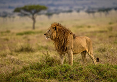 AFRICAN LION: Warm Embrace of Dawn (John C. Bruckman @ Innereye Photography) Tags: africanlion lionking kenya maasaimaraconservancy savannahgrasslands prides stalking predators stealth stamina practice power patience speed sound smell sight opportunistichunters scavengers coth5