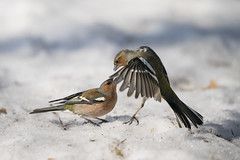 A9_00341 (msmedsru) Tags: kuusamo finland oulanka spring snow flight action chaffinch