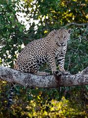 Pantanal_3052 (Jimmy Vangenechten 76) Tags: geo:lat=1727542767 geo:lon=5668574605 geotagged brazilië brazil pantanal wildlife animal dier portotrêsirmãos microrregiãodoaltopantanal mesorregiãocentrosulmatogrossense matogrosso centralwestregion fazendajofrevelho sãolourençoriver riosãolourenço encontrodaságuasstatepark parqueestadualencontrodaságuas jaguar pantheraonca