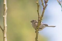 Male Bushtit (Dave In Oregon) Tags: psaltriparusminimus bird bushtit male songbird oregon rainieroregon