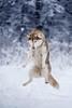 Flying Husky (foxphotopl) Tags: funny dog flying dynamic dynamicphotography dogs photography fly belive snow winter jelenia gora husky huskies siberian