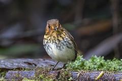 CA3I2725-Ochre-breasted Antpitta (tfells) Tags: ochrebreastedantpitta bird nature wildlife refugiopazdelasaves ecuador southamerica grallariculaflavirostris