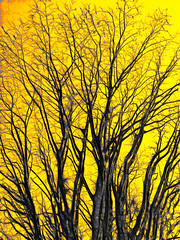"""esa luz sin espinas que acaricia"" / ""that thornless light that caresses"" (ix 2018) Tags: árbol tree amarillo yellow ramas branches contrast contraste editada edited poetry poesía aleixandre 2019 israfel67"