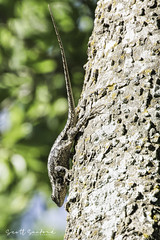 _MG_7849.80D.20190504-Edit (Scott Sanford Photography) Tags: 80d canon ef14xiii ef100400mmf4556lii eos naturallight nature outdoor texas topazlabs wildlife animals lizard reptile