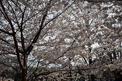 DSC_0121-61 (jjldickinson) Tags: nikond3300 109d3300 nikon1855mmf3556gvriiafsdxnikkor promaster52mmdigitalhdprotectionfilter washingtondc cherry tree flower bloom blossom