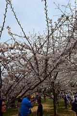 DSC_0119-61 (jjldickinson) Tags: nikond3300 109d3300 nikon1855mmf3556gvriiafsdxnikkor promaster52mmdigitalhdprotectionfilter washingtondc cherry tree flower bloom blossom