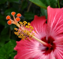 Lucy grew up to be quite the firecracker, as her Mamaw liked to say.  #hibiscus #flowers #floral #fleuriste #fleuris #fleur #flor #flora #tropicalflower #nature #naturephotography #naturelover (lmmauney) Tags: floral fleuriste flowers fleur naturelover tropicalflower nature hibiscus flora naturephotography flor fleuris