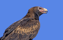 young wedge-tailed eagle #2 (Fat Burns ☮) Tags: wedgetailedeagle aquilaaudax eagle raptor australianeagle bird australianbird fauna australianfauna hawk nikond500 nikon200500mmf56eedvr aliceriver barcaldine queensland australia nature outback outdoors lagooncreekbarcaldine qld