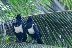 IL DUO   ---   THE DUO (Ezio Donati is ) Tags: uccelli birds animali animals natura nature alberi trees palma palm foresta forest westafrica costadavorio areasanpedro