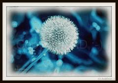 """WünschART auf Leinwand / Alle Rechte vorbehalten © AndiDroid ;-)    smile on saturday! """"Blue vor You - ME 2019"""" (AndiDroid ;-)) Tags: andidroid art artwork artdigitalvirtualgallery paint painting natur nature löwenzahn pusteblume dandelion blowball drawing malen kreativepeople eigenart ownart blueforyoume2019 smileonsaturday"""