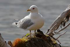 Kalalokki - Common Gull - Larus canus 3956 (Hannu Tervonen) Tags: 2019 linnut birds kalalokki commongull
