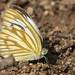 Cepora nerissa - Commun Gull