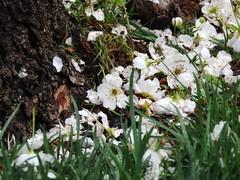 Between Grass and Trunk (Robert Cowlishaw (Mertonian)) Tags: blossomsfall mertonian green white spring2019 canon powershot sx70hs canonpowershotsx70hs tree bypl backyardphotolab robertcowlishaw sideways grass delicate