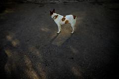 Dog (h329) Tags: 35mm dansui f20 newtaipeicity summicronasph taiwan dog leica m 台灣 新北市 淡水 狗