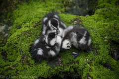 African Pygmy Geese (Babies) (Greg Larro Photography) Tags: photography photograph photo art bird goose geese baby babies feathers cute adorable african pygmy africa animal animals wildlife wild nature