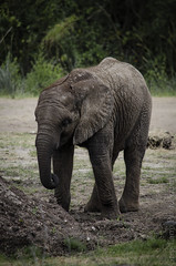 African Elephant (Baby) 2 (Greg Larro Photography) Tags: photography photograph photo art mammal animal wildlife nature wild elephant baby african africa big cute