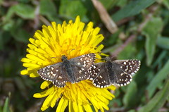 Väike-täpikpunnpea; Pyrgus malvae; Grizzled Skipper (urmas ojango) Tags: lepidoptera liblikalised insecta insects putukad butterfly punnpealased hesperiidae väiketäpikpunnpea pyrgusmalvae grizzledskipper